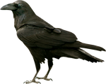 Black raven on a transparent background.