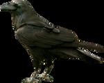 Black raven on a transparent background.