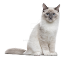 The cat sits on a transparent background.