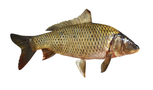 Fish carp on a transparent background.