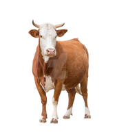 Young cow on a transparent background. by PRUSSIAART
