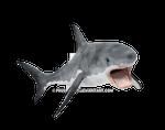 Shark on a transparent background.