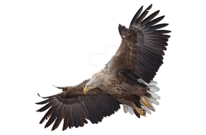 Eagle in flight on a transparent background. by PRUSSIAART