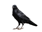 Crow on a transparent background.