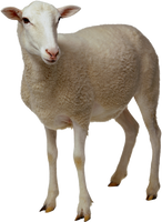 White sheep on a transparent background. by PRUSSIAART