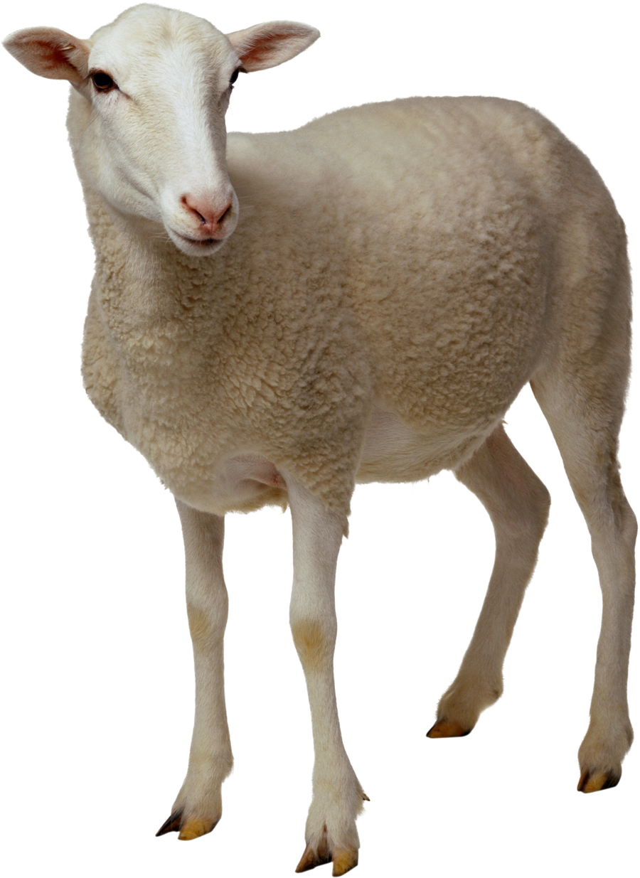 White sheep on a transparent background. by PRUSSIAART on ...