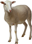 White sheep on a transparent background.