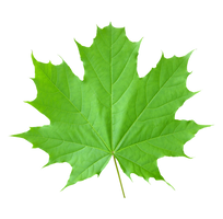Maple leaf on a transparent background. by PRUSSIAART