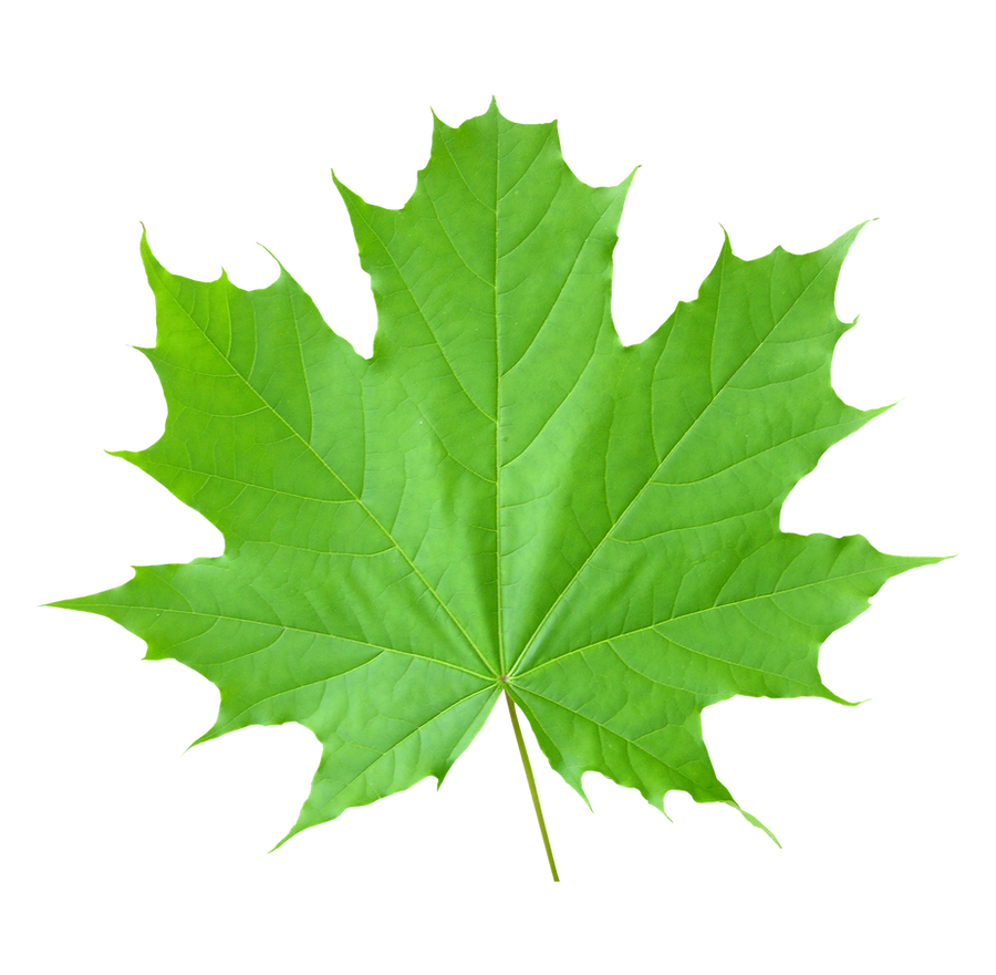 Maple Leaf On A Transparent Background By Prussiaart On Deviantart