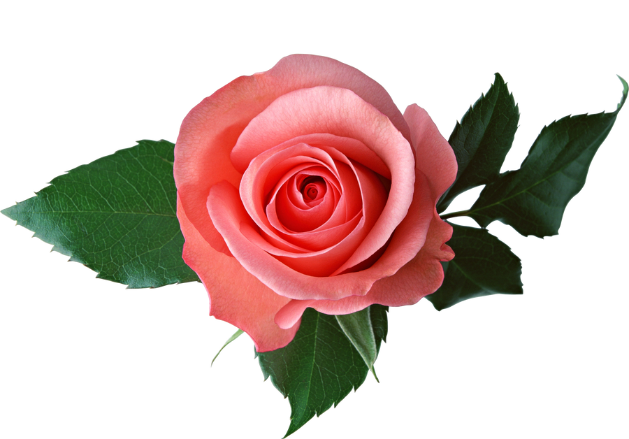 Pink Rose On A Transparent Background. By PRUSSIAART On