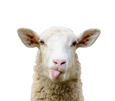 Portrait of a sheep on a transparent background by PRUSSIAART