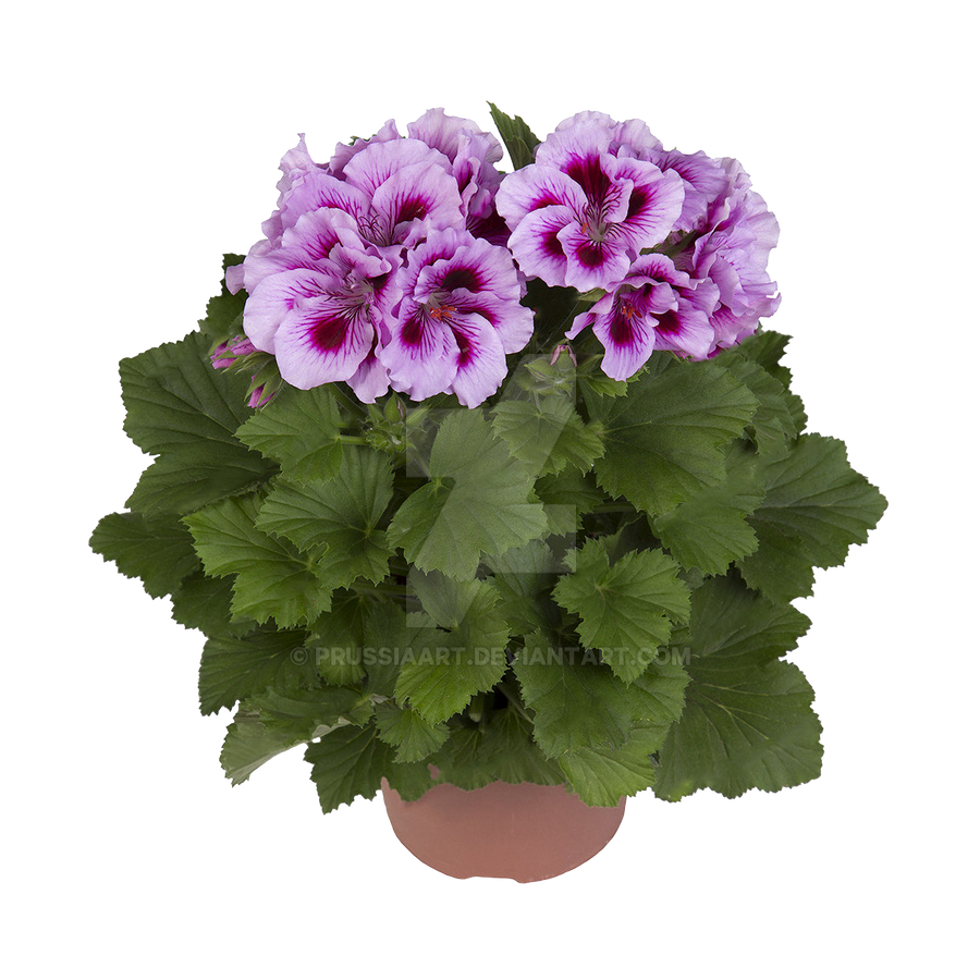 Flowers Of Geranium On A Transparent Background. By