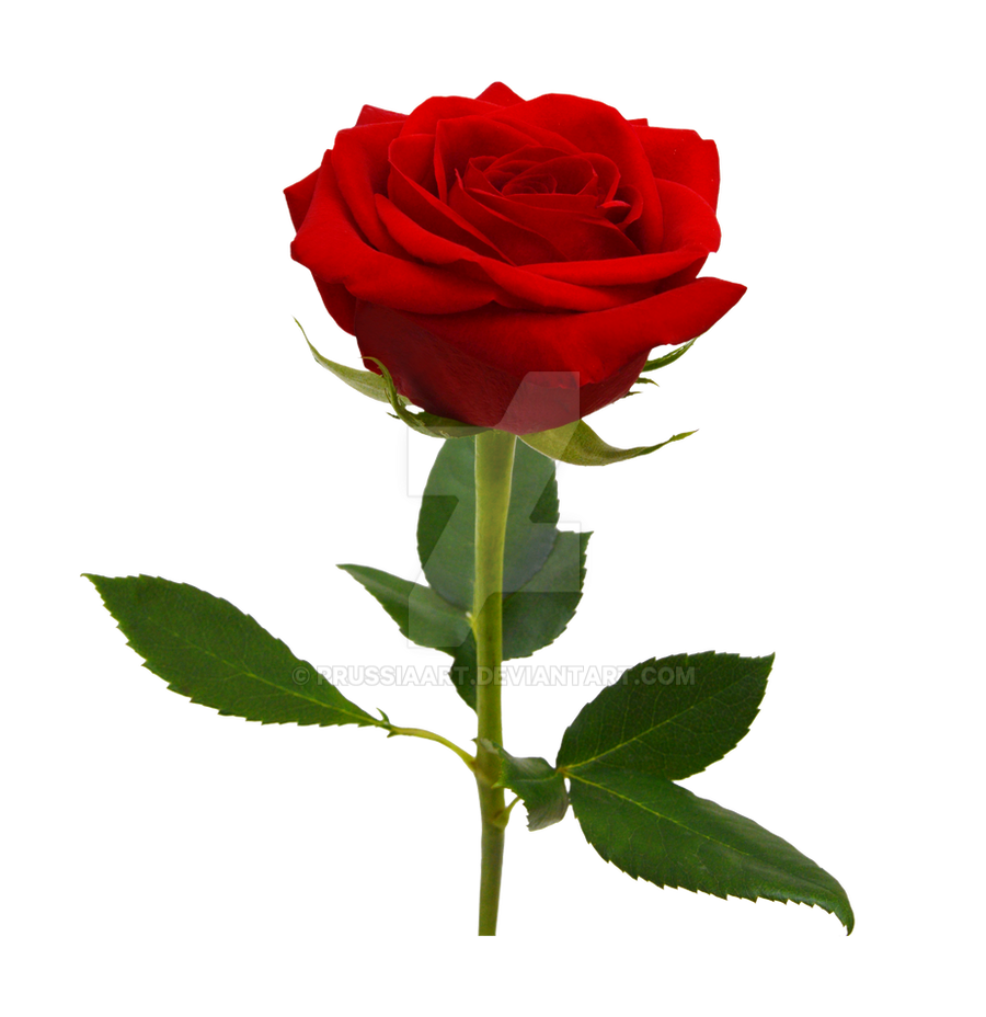 Red Rose On A Transparent Background By Prussiaart On Deviantart
