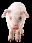 Piglet on a transparent background