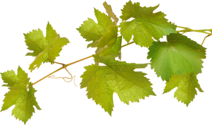 Leaves of grapes on a transparent background.
