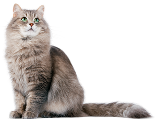 Domestic cat on a transparent background
