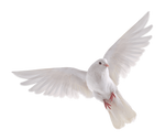 White dove on a transparent background.