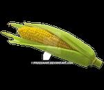 Corn cob on a transparent background.