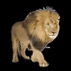 Adult lion on a transparent background.