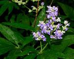 Bush Flower of Blue by Luna-Shiori