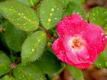 Deep Pink Rose by Luna-Shiori