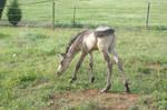 Paso Fino - Dun Foal 2