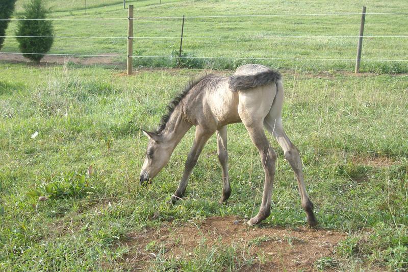 Erosaf's Foaling Thread Paso_fino___buckskin_dun_foal_by_lone_orchid-d35my1e