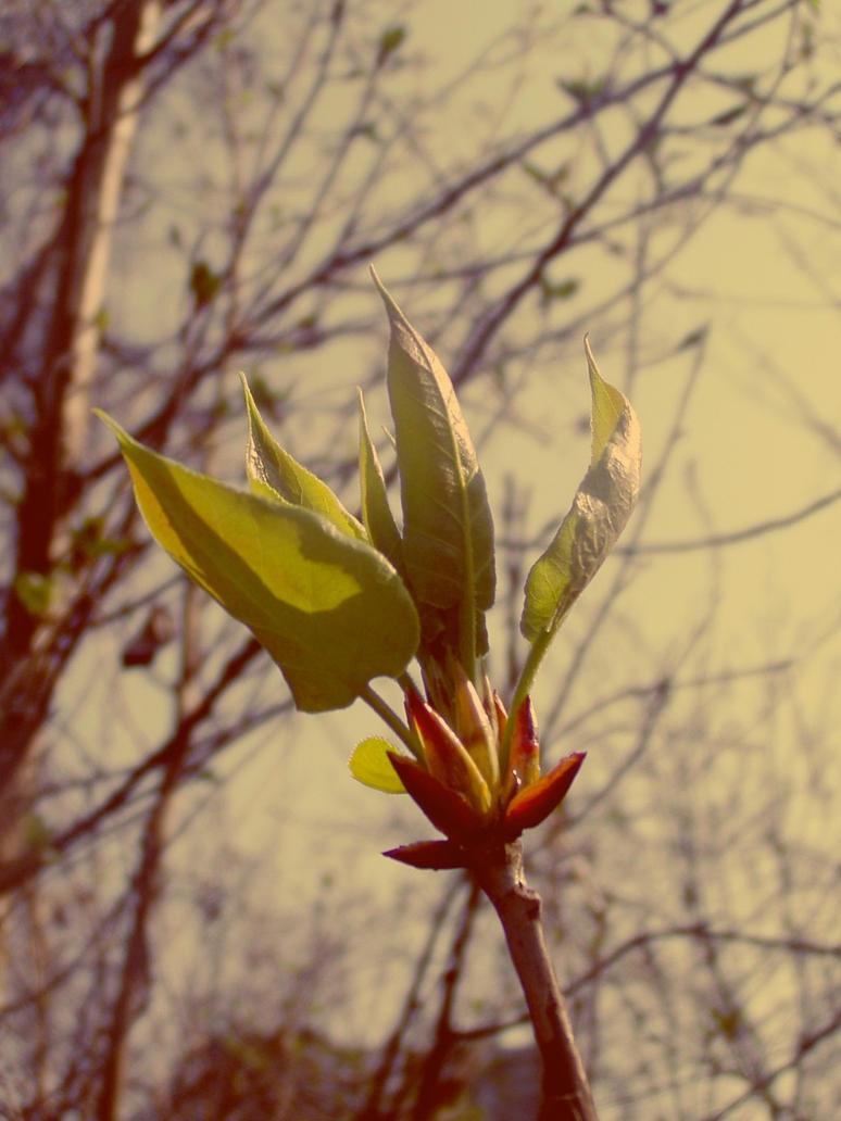 Populus nigra 'Italica' by AlnusIncana