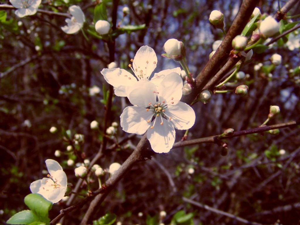 Prunus domestica syriaca by AlnusIncana