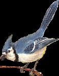 Blue Jay Icon ultrabig