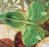 Ivy Leaf (4) (left) Icon big