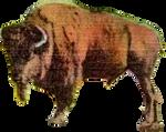 Buffalo North Dakota (1) (stock)