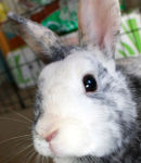 Butters Cute Rabbit (head) Icon ultrabig