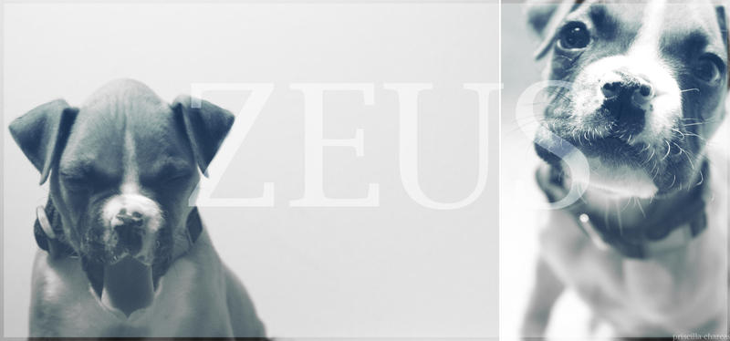 Zeus the Boxer by Tealea
