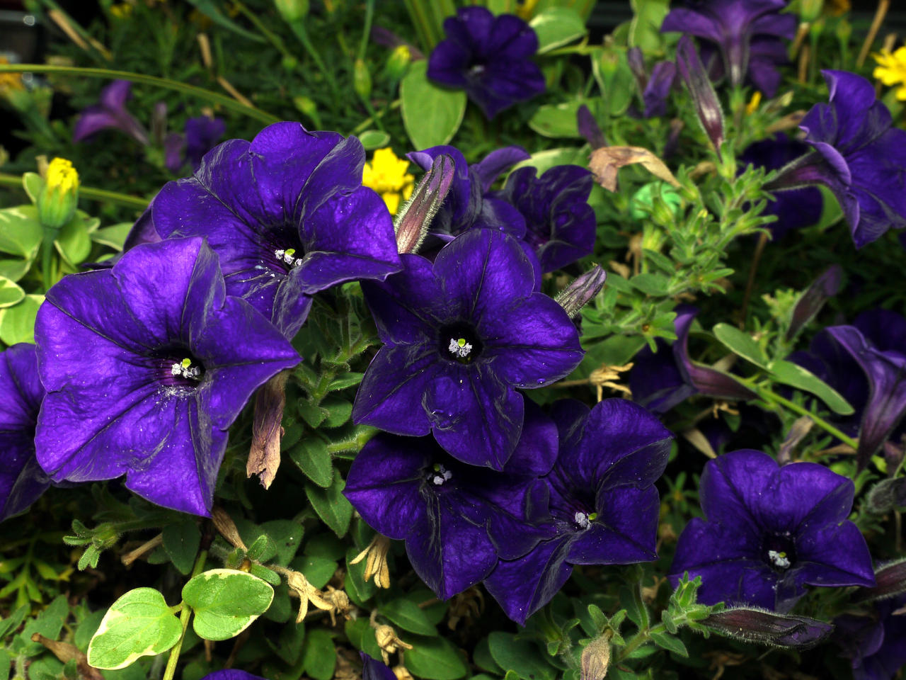 home depot flowers with Purple Flowers 245363468 on Demise Flappy Bird Heres Can Keep Playing together with Vaso Per Piante besides My Island Really also Sky Hd Wallpapers5 2 together with Cat Repellent Plants.