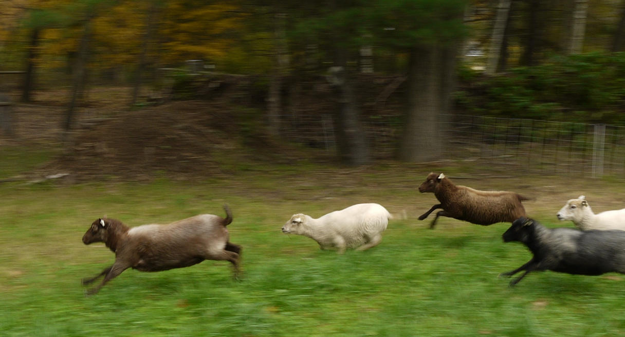 run sheep run