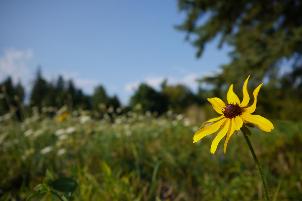 Flower in a Field by dseomn
