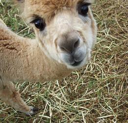 Cute alpaca.