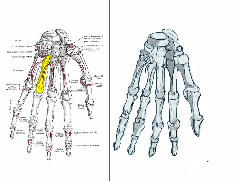 ANATOMY: THE HAND - BONES by prowse70 on DeviantArt