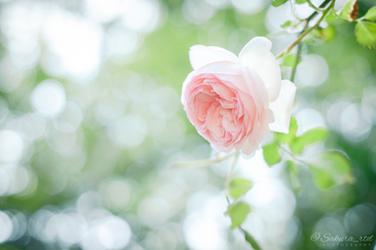 Spring Rose 1 by sakura-rtd