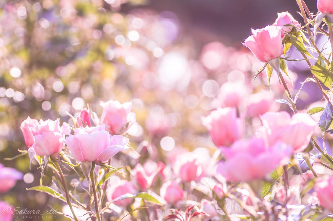 Spring Rose 2 by sakura-rtd
