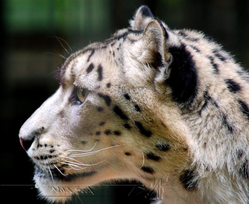 Portrait of a Snow Leopard by Wild-Soul