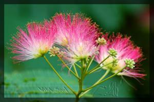 Persian Silk Tree by Wild-Soul