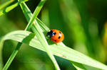 Ladybird by Wild-Soul