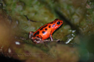 Strawberry Poison Dart Frog by Wild-Soul