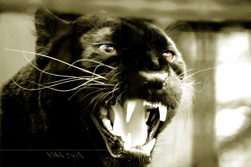 http://fc00.deviantart.net/fs38/i/2008/354/e/1/Black_Panther_by_Wild_Soul.jpg