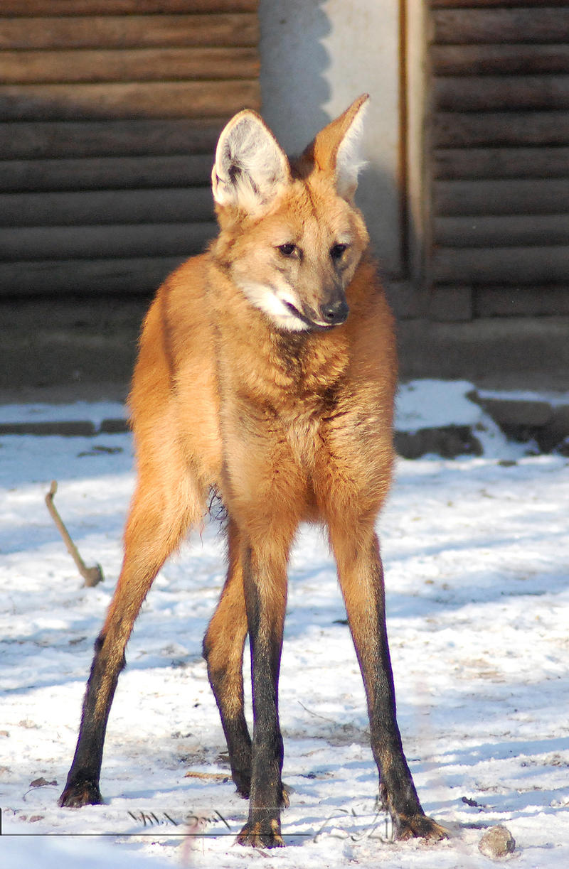 Maned Wolf Pictures Maned Wolf by Wild Soul