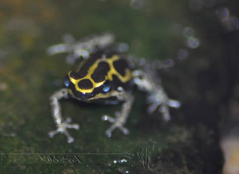 Shiny Frog