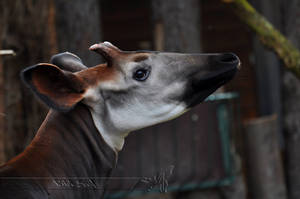 Okapi by Wild-Soul