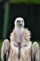 Fluffy Vulture by Wild-Soul